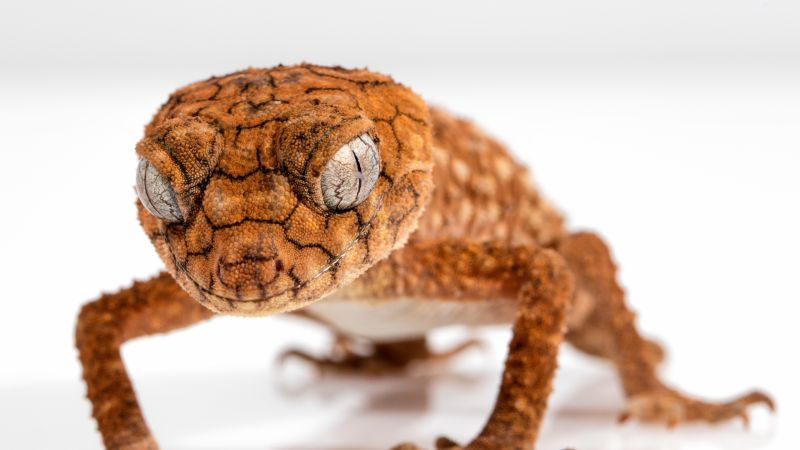 Gecko, Caledonian Crested Gecko, reptile, lizard, close-up, eyes, animals (horizontal)