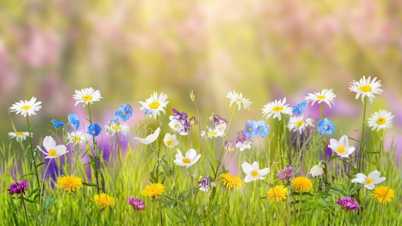 flower, 5k, 4k wallpaper, field, spring (horizontal)
