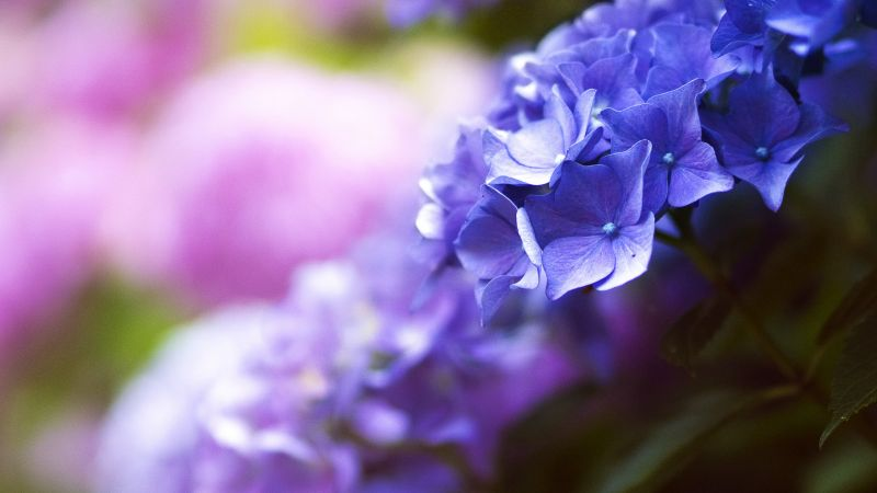 Beautiful flowers, 5k, 4k wallpaper, blue, spring, macro (horizontal)