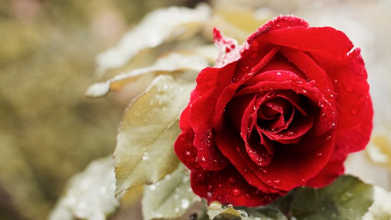 rose, 5k, 4k wallpaper, red, spring, flower (horizontal)