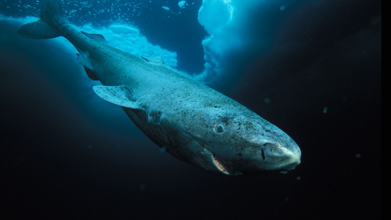 Greenland shark, Hudson Bay, Labrador, diving, tourism, blue sea, World's best diving sites (horizontal)
