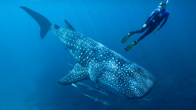 Whale shark, shark, atlantic, indian, pacific, ocean, water, underwater, blue, diving, tourism, fish, World's best diving sites