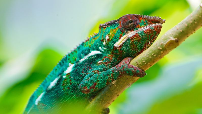 Chameleon, look, Colorful (horizontal)