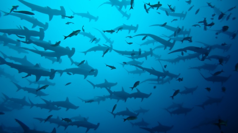 5k, 4k wallpaper, Scalloped hammerhead sharks, Cocos Island, Costa Rica, underwater, fish, water, blue, diving, tourism, school of sharks, ocean, sea, World's best diving sites (horizontal)