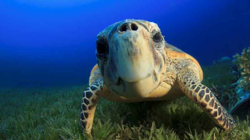 Hawksbill Sea Turtle, Bahamas, Atlantic, Pacific, Indian, Ocean, sealife, underwater, funny, diving, tourism, blue, World's best diving sites (horizontal)