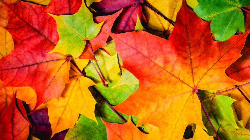 Leaves, 5k, 4k wallpaper, 8k, colorful, autumn (horizontal)