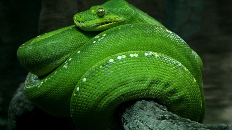 Python, Singapore, 4k, HD wallpaper, zoo, Emerald, Green, snake, eyes, close-up, tourism (horizontal)
