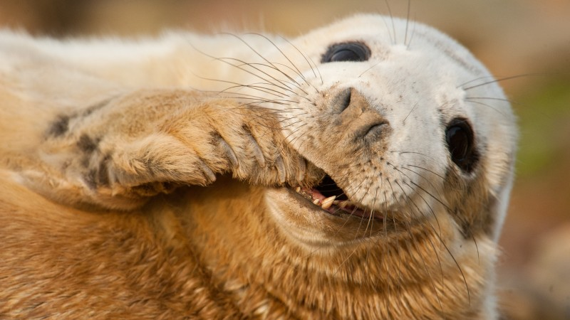 Grey seal, Scotland, Sable Island, funny, Teeth, Young, tourism (horizontal)