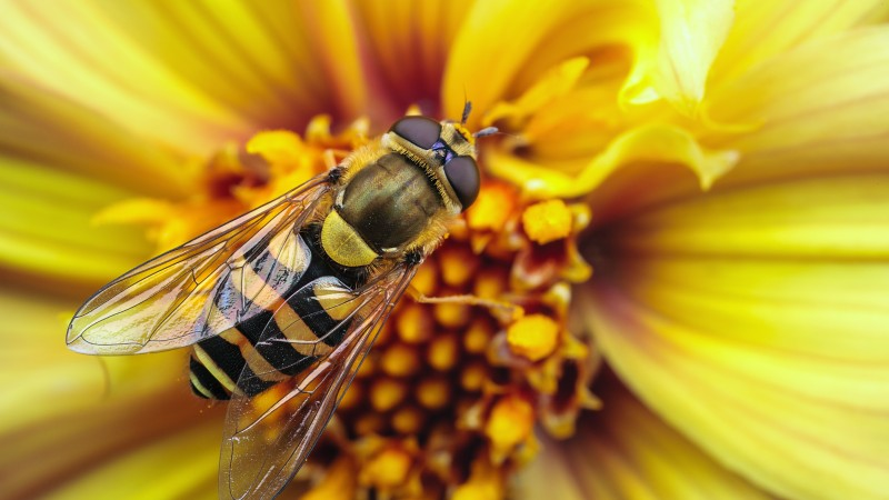 Bee, wasp, flower, yellow, wings, macro, stripes, insects (horizontal)
