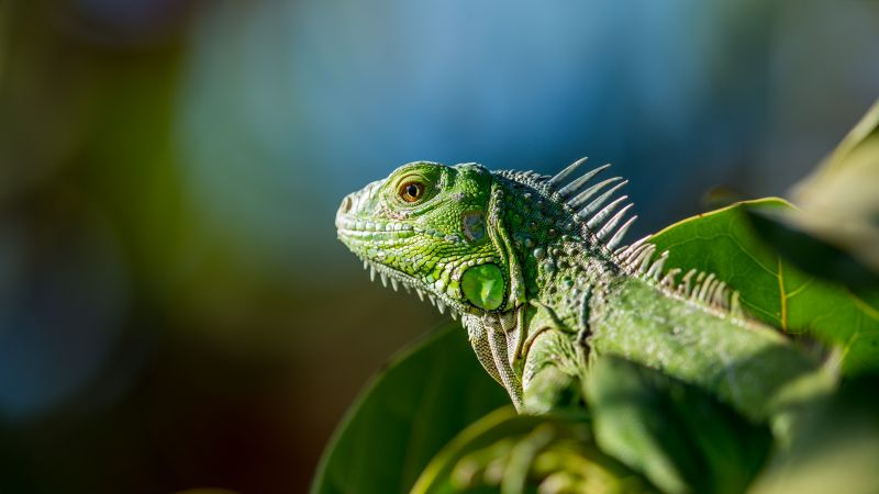 iguana, green (horizontal)
