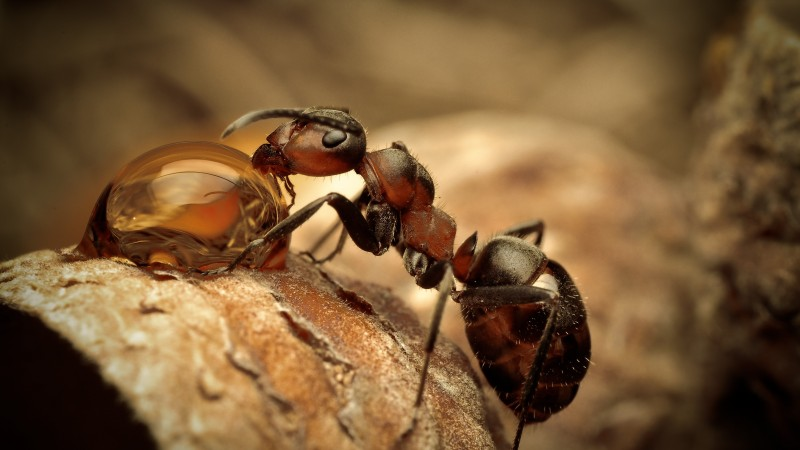 Ants, insects, water drops, macro, brown, Drinking, Water (horizontal)