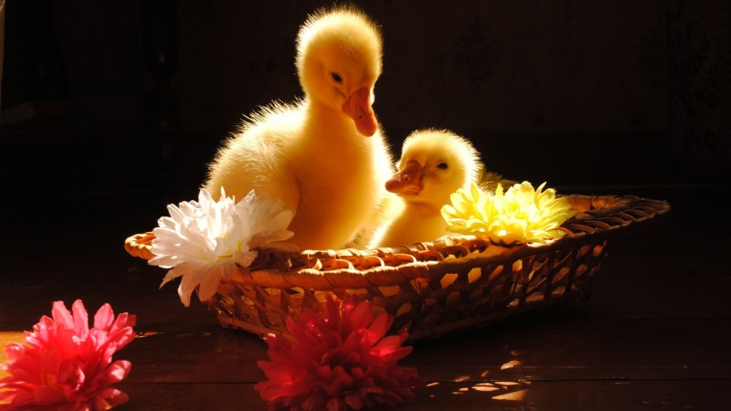 Ducklings, yellow, basket, flowers, sunny day, table, cute, animal, pet (horizontal)