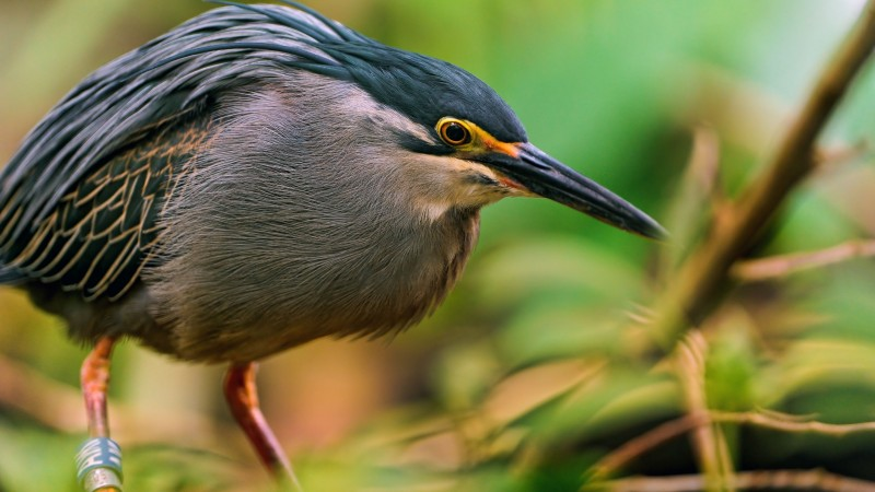 Great bittern, Portugal, Japan, Sakhalin, bird, eyes, green, nature, grey, nest, beak, animal, tourism (horizontal)