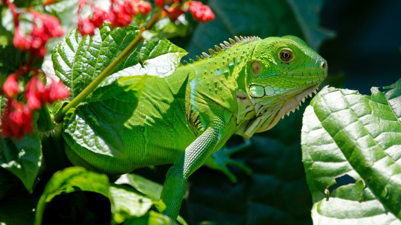 Iguana, reptiles, green, aimal, flowers, eyes, leaves, dragon, nature (horizontal)