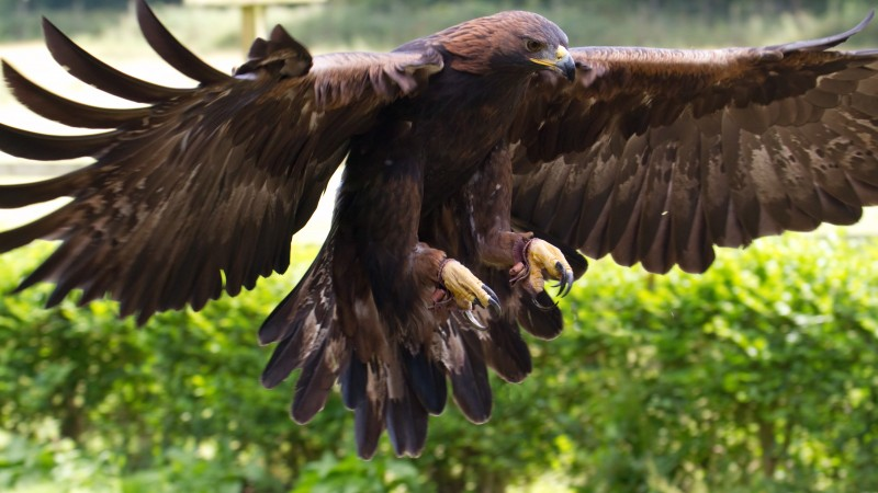 Golden Eagle, Mexico, bird, animal, nature, wings, brown, green grass, tourism