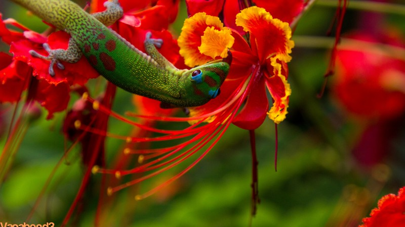 Lizard Hilo, Hawaii, lizard, green, flowers, red, nature, animal, reptiles (horizontal)
