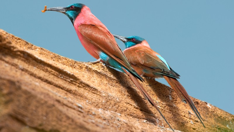 Northern carmine bee-eater, Central African Republic, tourism, branch, pink, red, eyes, nature, animal, birds (horizontal)