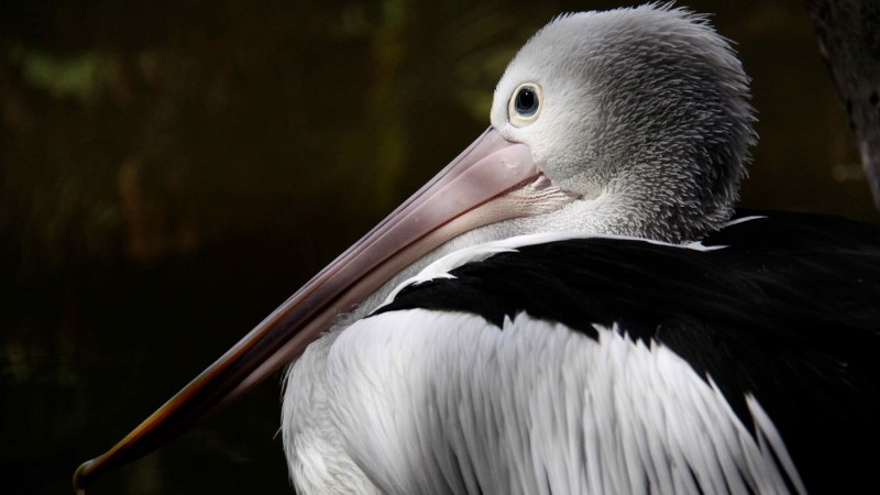 Australian pelican, New Guinea, close-up, white, gray, bird, animal, nature, tourism (horizontal)