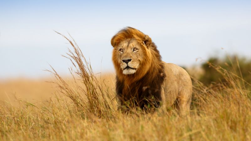lion, savanna, 5k (horizontal)