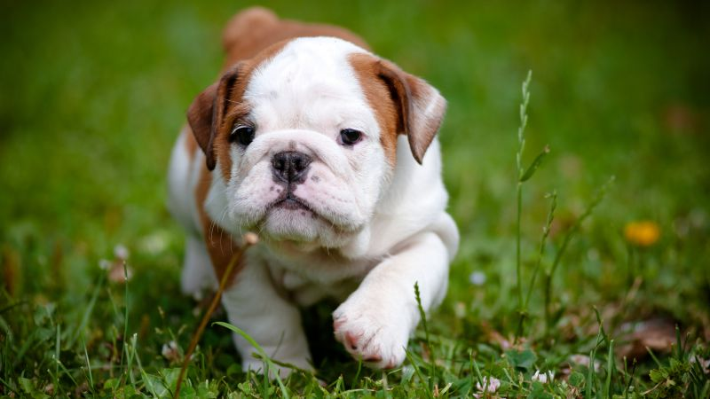 bulldog, puppy, 4k (horizontal)