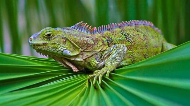 iguana, green, 6k (horizontal)