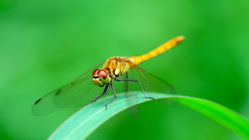 dragonfly, green, 4k (horizontal)