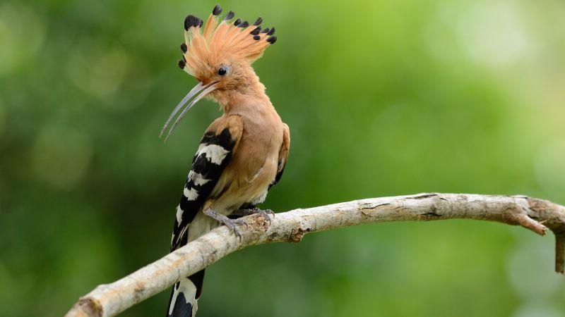 hoopoe, bird, 4k (horizontal)