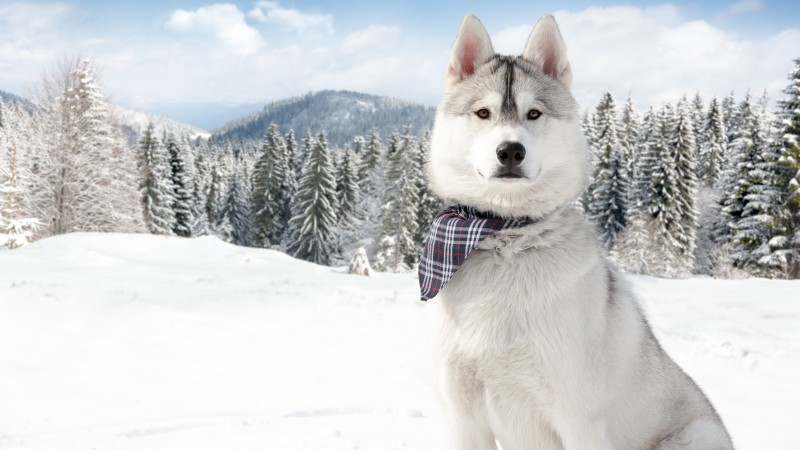 Huskies, Dog, puppy, snow, forest, winter, white, animal, pet,  (horizontal)
