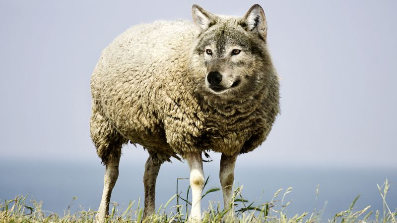 wolf in sheep's clothin, wolf, sheep, 5k (horizontal)