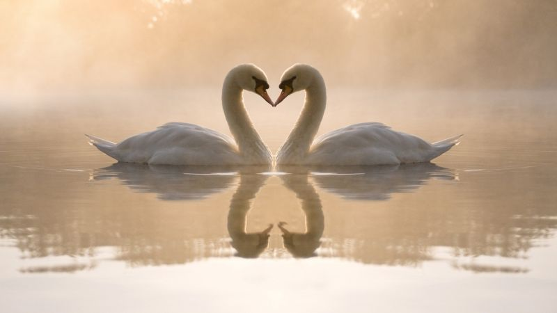 love image, swan, couple, lake, 4k (horizontal)