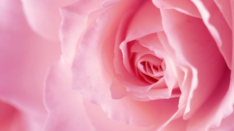 flower, rose, pink, 4k (horizontal)