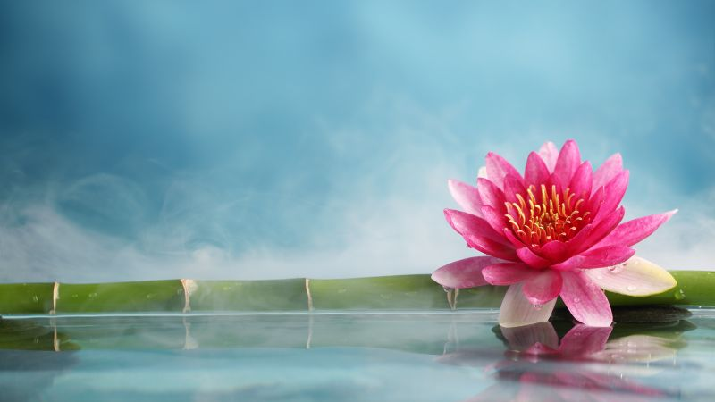 lotus, flower, bamboo, water, 5k (horizontal)