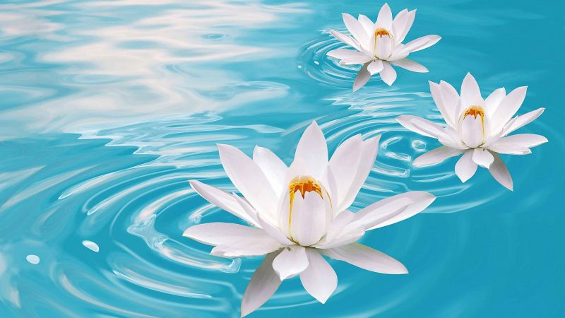 lotus, flower, water, 4k (horizontal)