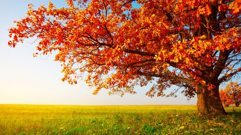 autumn, tree, leaves, field, grass, 8k (horizontal)