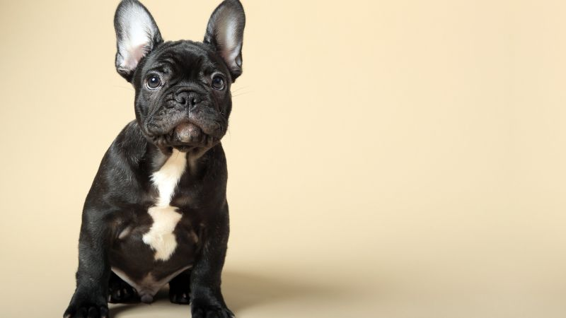 French Bulldog, puppy, cute animals, 4k (horizontal)