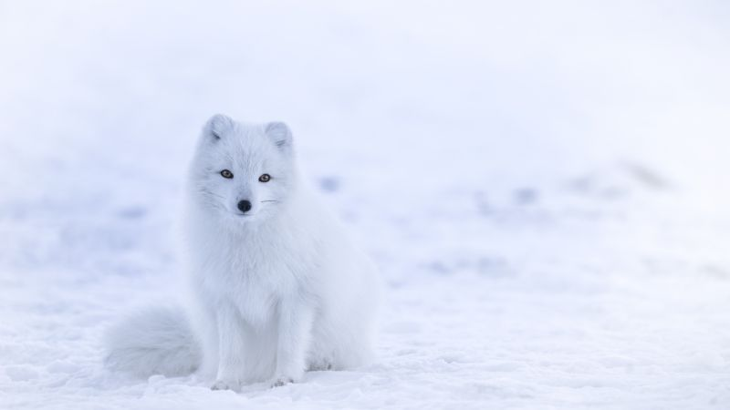 arctic fox, cute animals, winter, snow, white, 8k (horizontal)