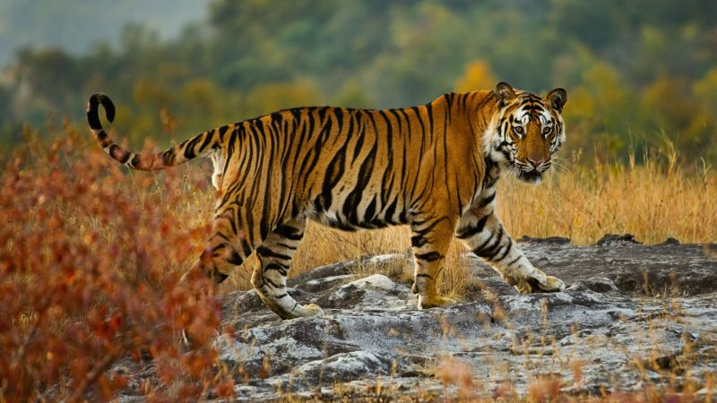 tiger, cute animals, 5k (horizontal)