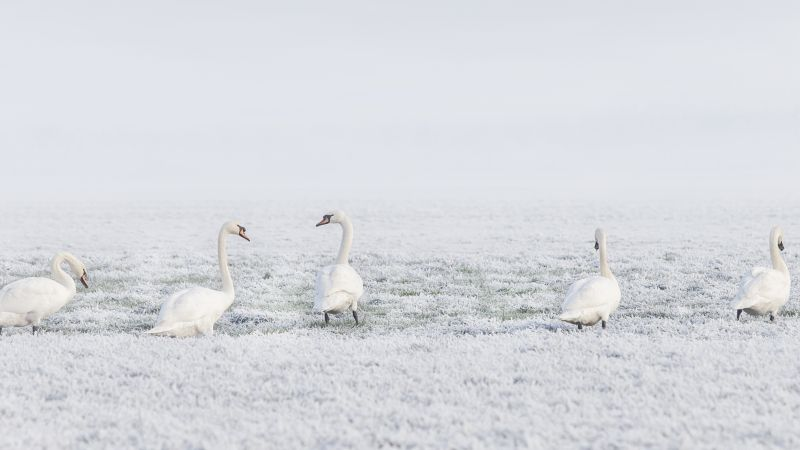 winter, swans, snow, 8k (horizontal)