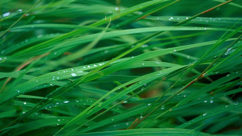 grass, 5k, 4k wallpaper, OSX, green, dew (horizontal)