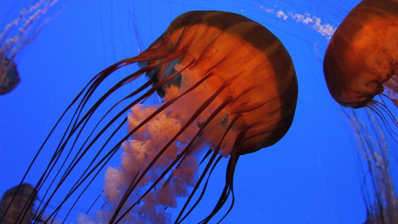 Jellyfish, Pacific sea nettle, Georgia, Atlanta, diving, tourism, Aquarium, water, blue, orange