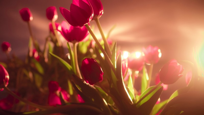 tulips, 4k, HD wallpaper, red, Valentine's Day, February 14 (horizontal)