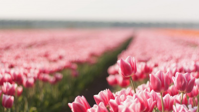 Tulip, 4k, HD wallpaper, spring, flower, field (horizontal)