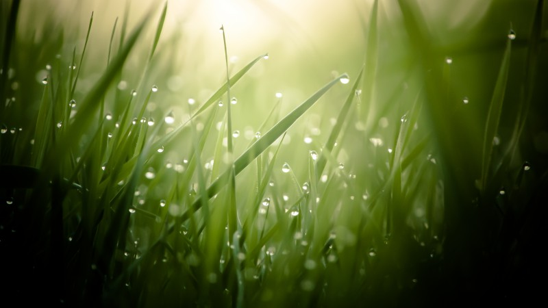 Grass, 4k, HD wallpaper, green, drops, dew, sun, rays (horizontal)
