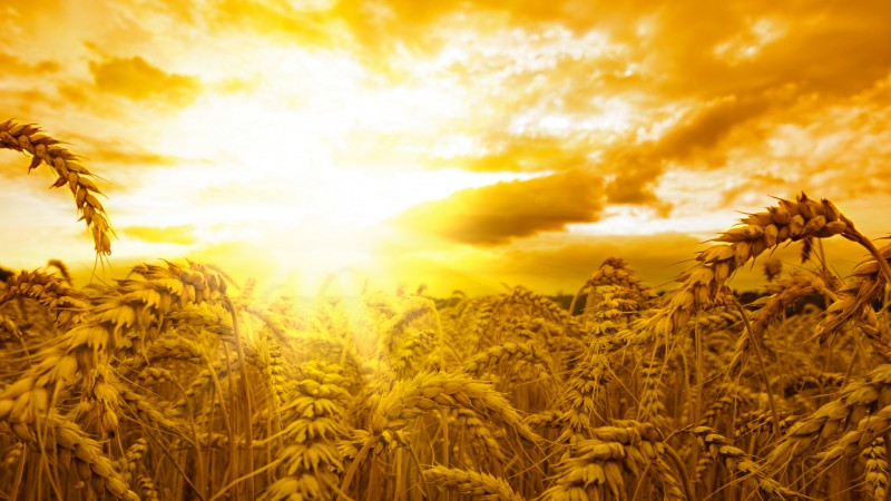 Ears, 5k, 4k wallpaper, wheat, sun, sky, yellow (horizontal)