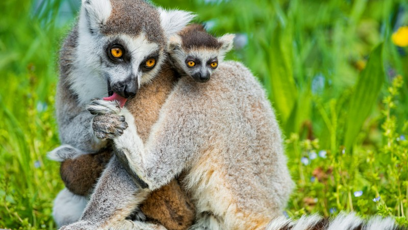 Lemurs, lemur, animals, Cute animals, summer