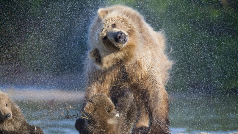 Bears, water, wash, National Geographics