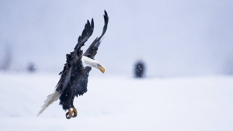 Eagle, Alaska, 5k, 4k wallpaper, HD, flight, winter, snow, National Geographics