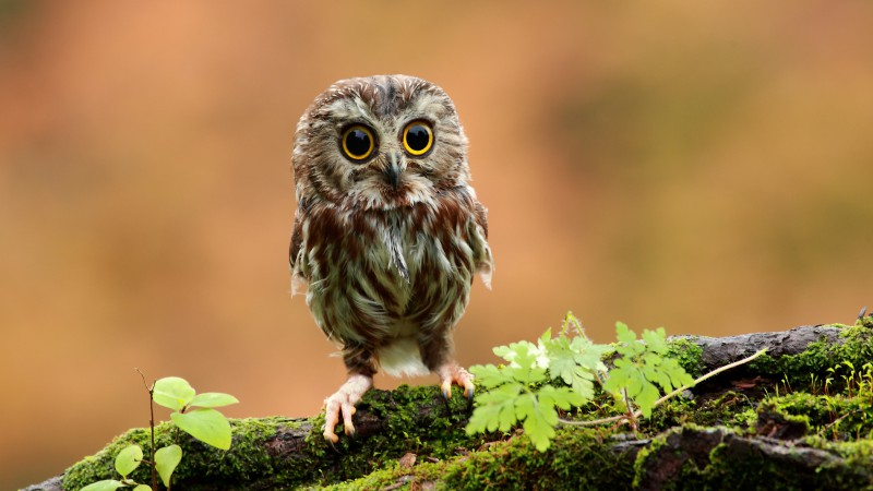 Owl, chicken, forest, eyes (horizontal)