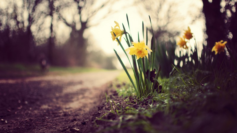 Daffodils, flowers, spring, nature