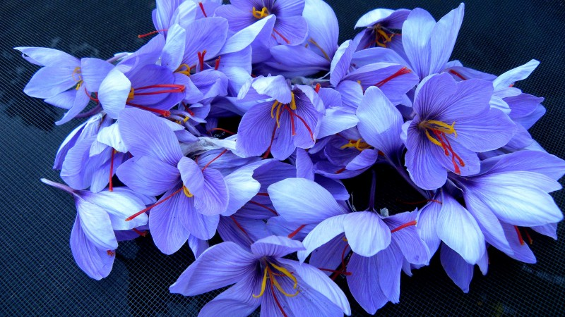 saffron, 4k, HD wallpaper, flowers, spring (horizontal)